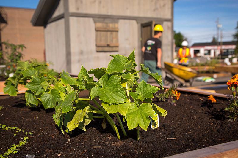 Plant de légumes au Jardin des rendez-vous, l'un des potagers urbains de Victoriaville