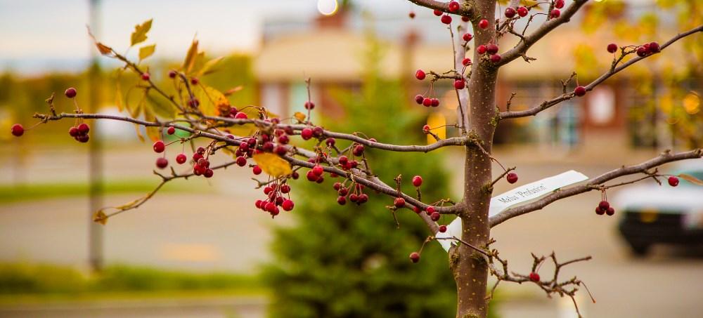 Plantation d'arbres fruitiers en milieu urbain