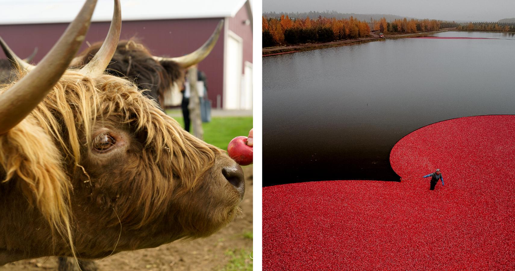 La Balade Gourmande et Canneberge en Fête, deux incontournables de l'automne - Crédits photos: Guy Samson (gauche), Les Maximes (droite)