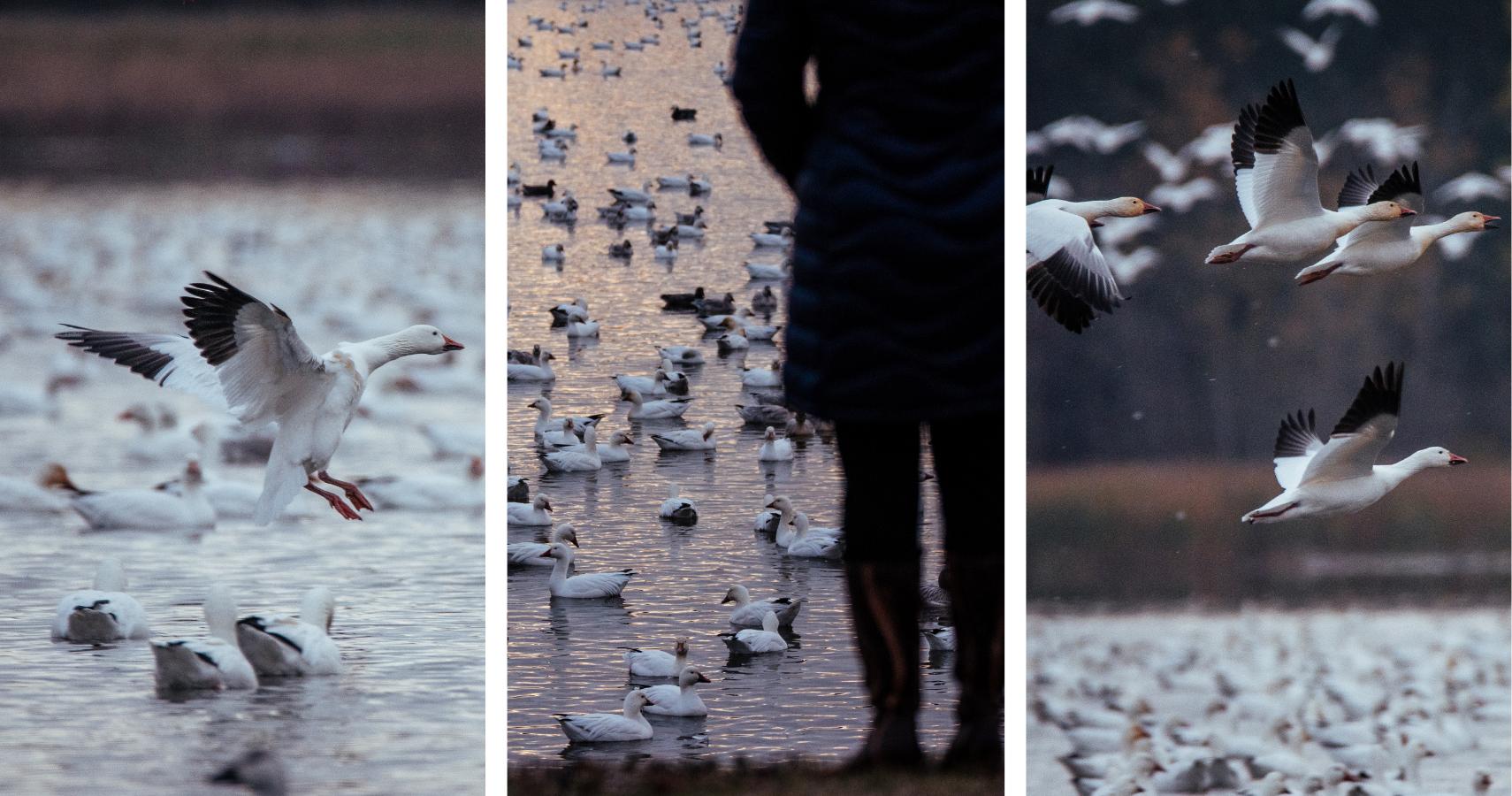 Le Réservoir-Beaudet: LA place pour voir des oies à l'automne! - Crédits photos: Les Maximes