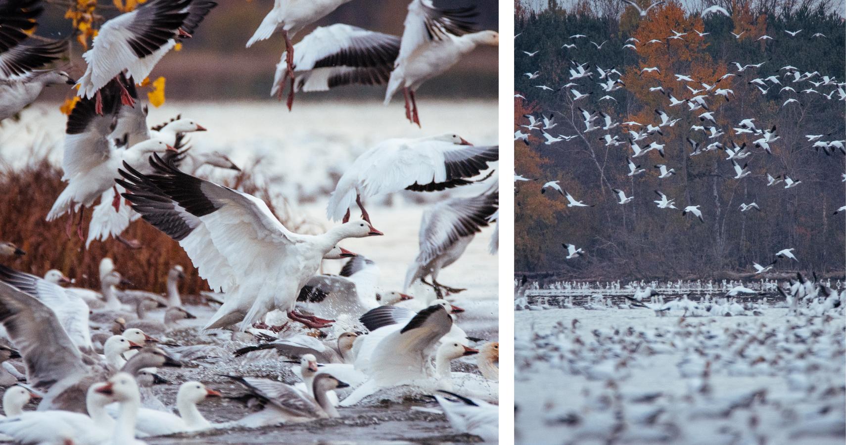 Dès le mois d'octobre, les Grandes Oies des neiges se donnent rendez-vous au Réservoir-Beaudet - ©Les Maximes