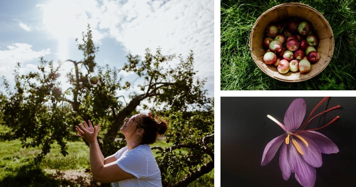 Des pommes et du safran à récolter! - Crédits photos: Les Maximes (pommes)
