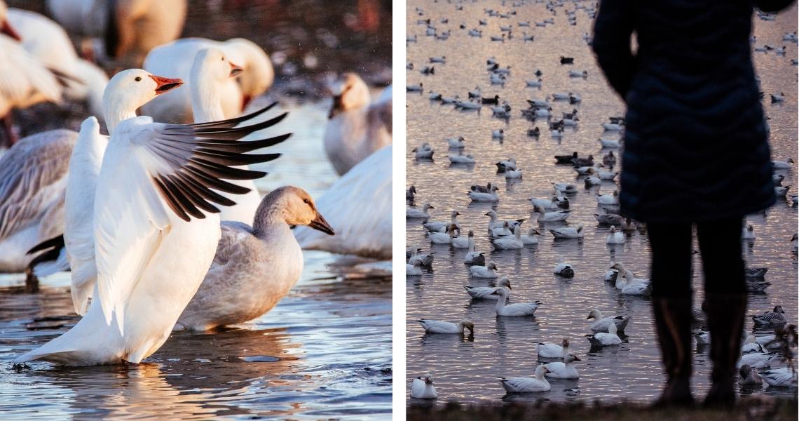 Le Réservoir Beaudet offre une rare chance de voir les oies d'aussi près! - Crédits photos: Les Maximes
