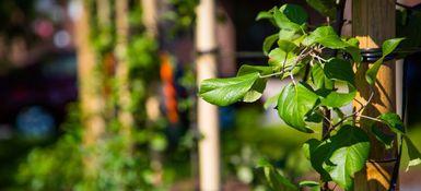 """Victoriaville reçoit une subvention dans le cadre du programme """"Les Arbres comestibles"""""""