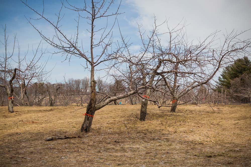 Près de 200 pommiers situés dans la partie supérieure du verger du Boisé des Frères seront remplacés prochainement en raison d'une bactérie qui a contaminé plusieurs vergers du Québec l'année dernière.